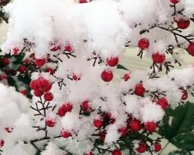 snijeg, pokriven, nandina, bobice