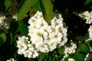 bijeli, grmlja, cvijeća