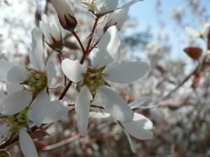 flores blanca, arbusto, árbol,