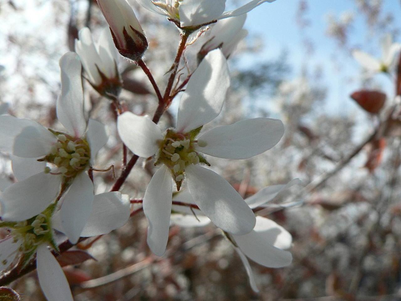 Free picture white flowering bush white flowering bush mightylinksfo