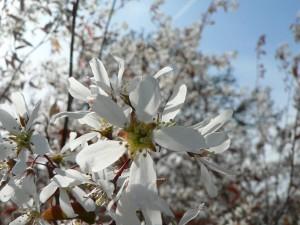 white flowers, bush