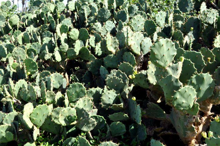 cactus, field, desert