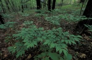 cohosh, Pflanze, Flora, Cimicifuga, racemosa