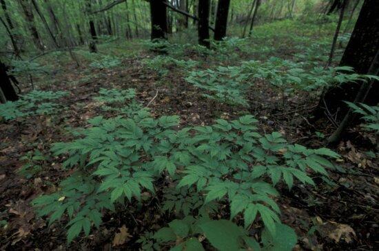 cohosh, plant, flora, cimicifuga, racemosa