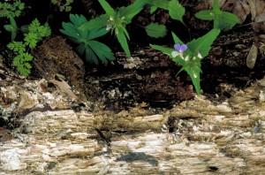 Collinsia, verna, bleu, observé, mary, plante