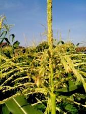 corn, flower