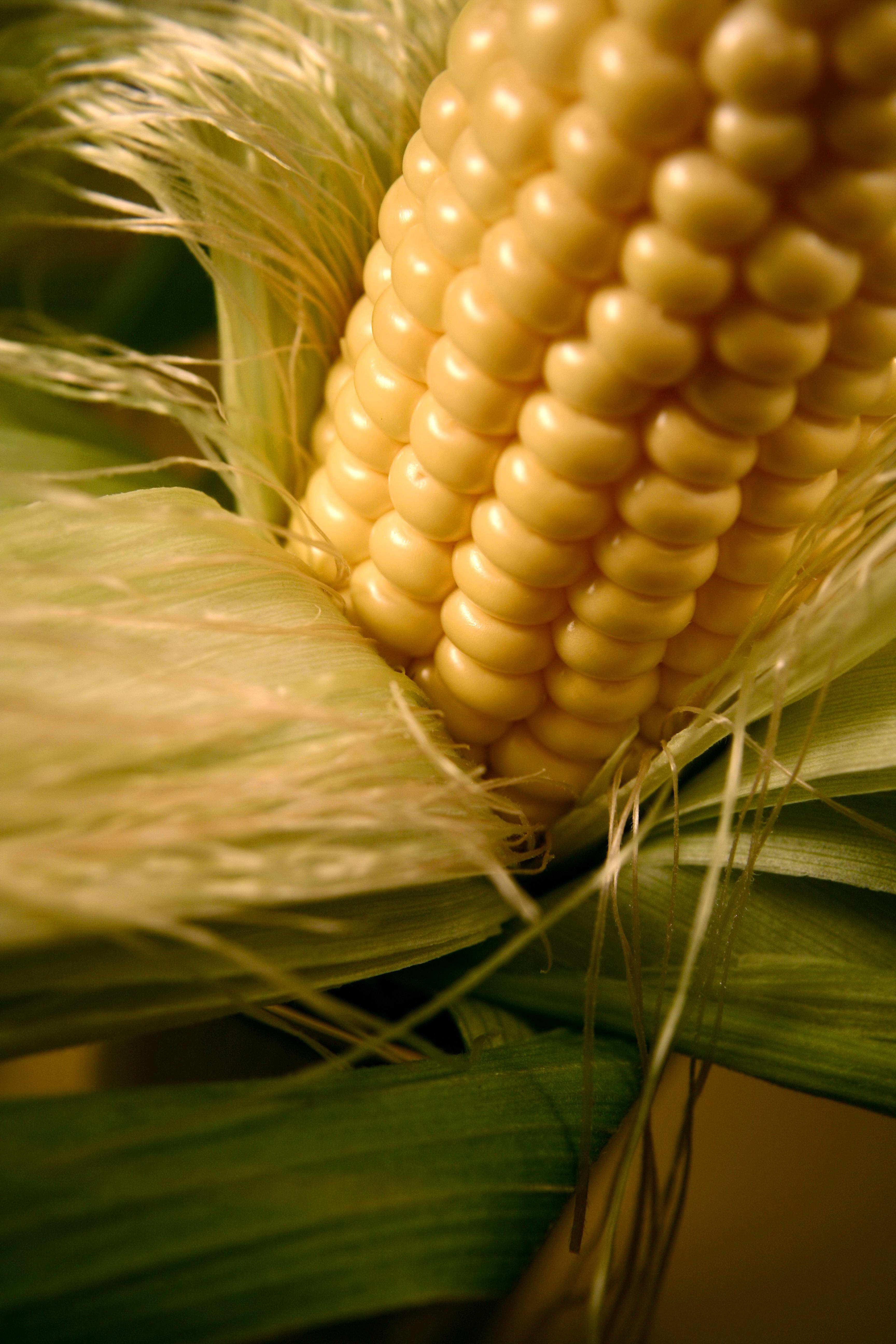 Free photograph; corn, plant