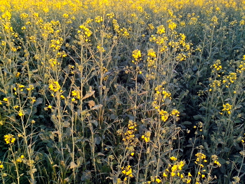 Free photograph; honey, field, rapeseed