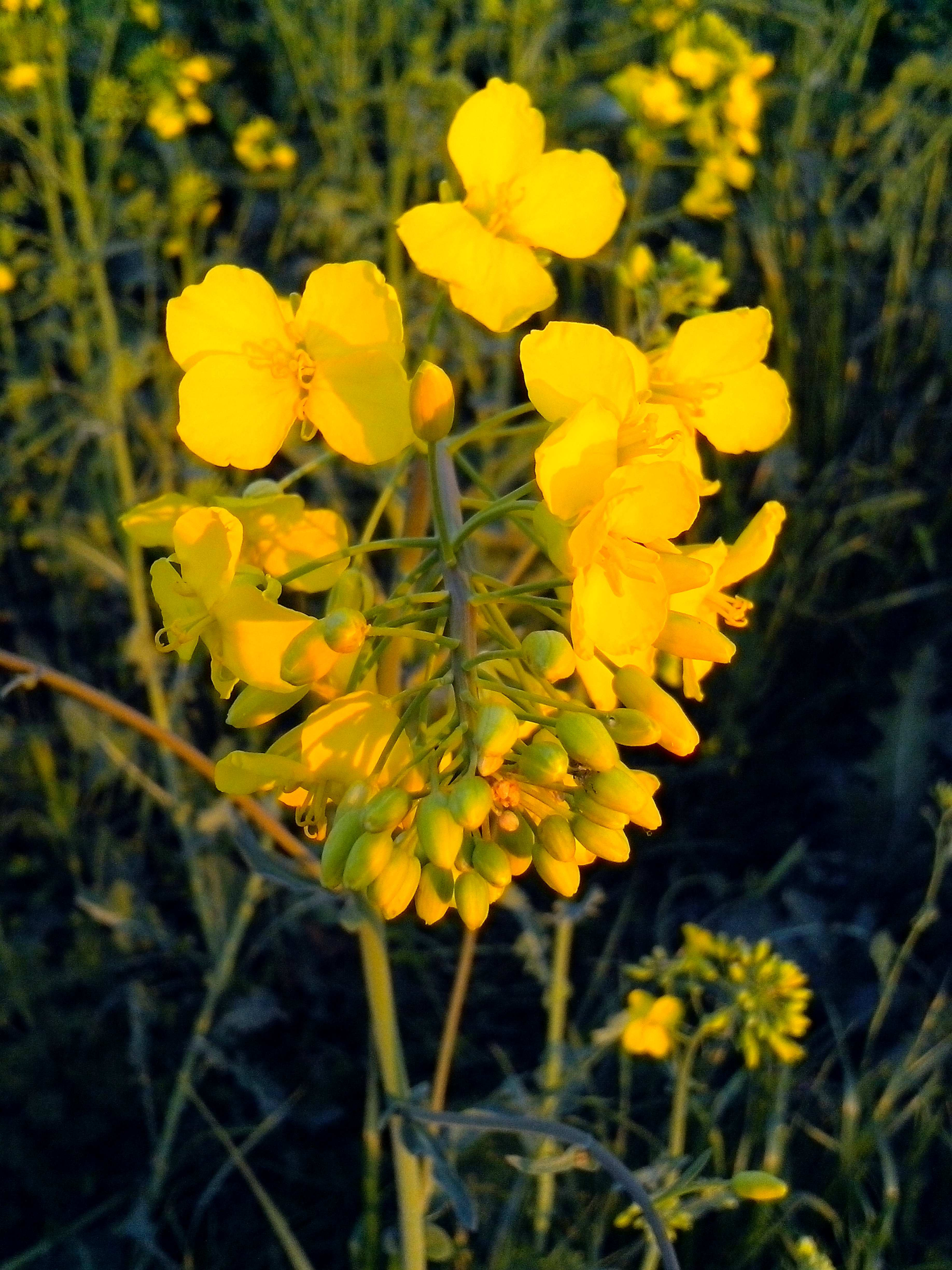 Free photograph; rapeseed, yellow, flowers