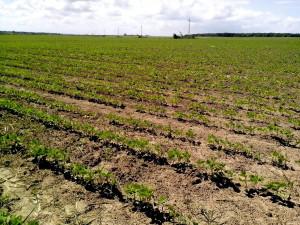 soyabønner, felt