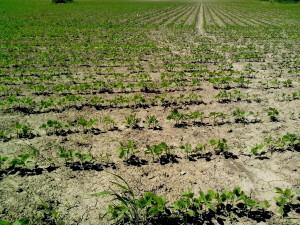 soyabønner, plantet, felt