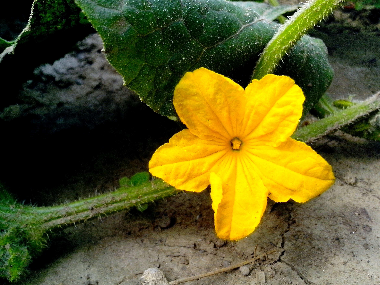 Free photograph; cucumber, flower