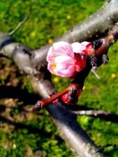detalles, imagen, rosa, manzana, brote