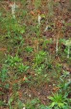 dioscorea villosa, Čolić, korijen, biljka, flore