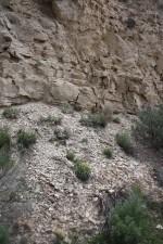 dudley, bluffs, twinpod, plant, natural habitat