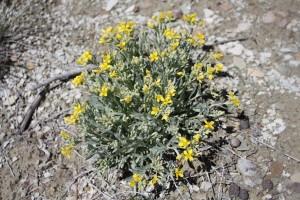 dudley, täuschungen, twinpod, Pflanze, Boden