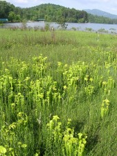 truede, grøn, kande, planter, sarracenia, oreophil