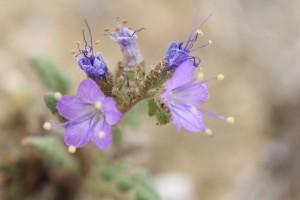 endengered, plant, park, phacelia, flowers, phacelia, formosula