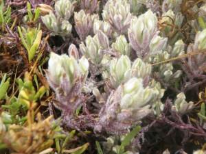 endengered, marais salés, les oiseaux, coupure, plante, Cordylanthus, maritimus, maritimus