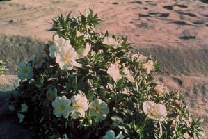 eureka, evening primrose