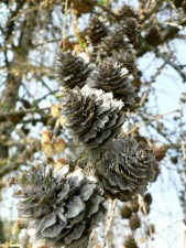 European, larch, cones