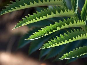 jagged, leaves