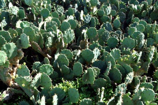 field, cactus