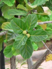 fig, green, fruits, leaves