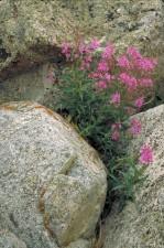 fireweeed, plant, rocks, epilobium, angustifolium