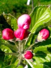pet, pupoljci, jabuka, grana