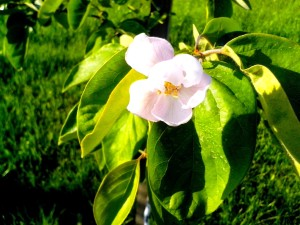 flower, quince, fruit