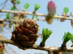 flowering, larch, close