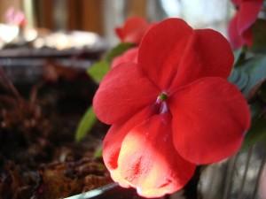 Crveni cvijet