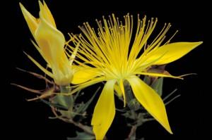Άδωνις, blazingstar, κίτρινο λουλούδι, άνθιση