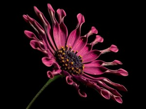 African, daisy, flower