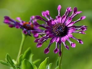 African, daisy, flowers