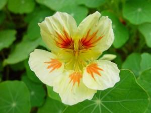 альбинос, настурция, цветок