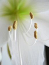 amaryllis, white flower, close