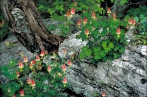 Αμερικανική, columbine, φυτό, aquilegia canadensis