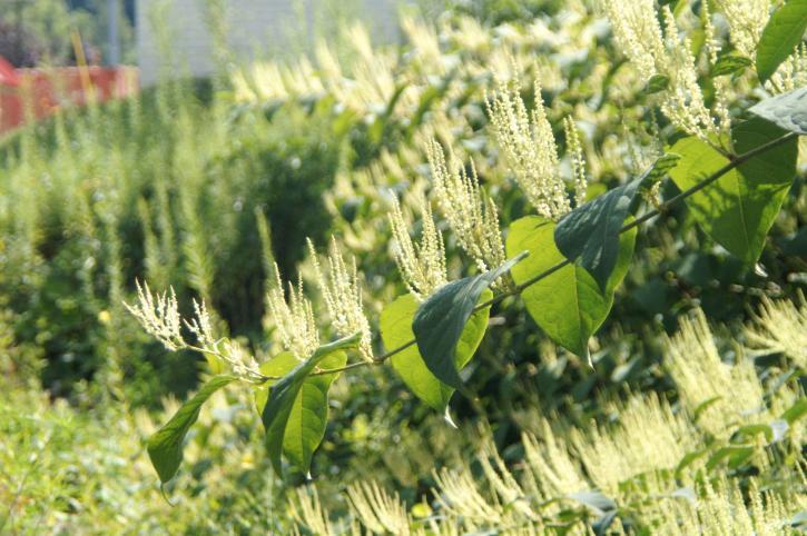 invasive, japonais, renouée, plante