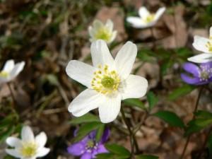 anemone, nemorosa
