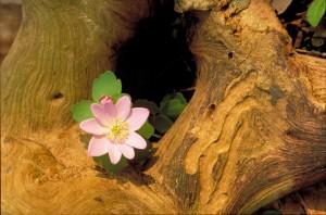 false, anemone, flower, enemion, biternatum