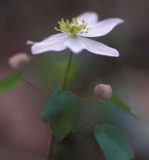anémone, plante, fleur, thalictrum, thalictroides