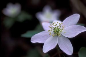 white flower, petals, anemone