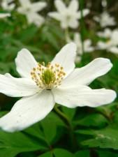 wood, anemone, anemone, nemorosa