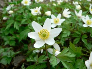wood, anemone, anemone, nemorosa, flower
