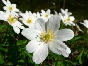 wood, anemone, beautiful