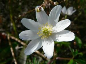 legno, anemone, fiore bianco