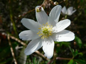 wood, anemone, flower