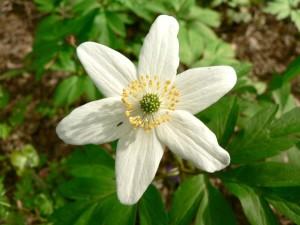 wood, anemone, flowering